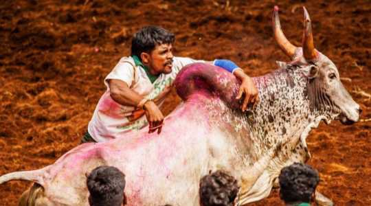 See This Dangerous Tradition Where Young Men Fight With Bulls Without Any Instrument, See Why!!