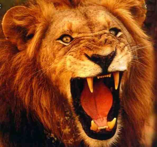 UNBELIEVABLE!! See The Countries And Religion Where Lions Are Worshipped – You Will Be Shocked
