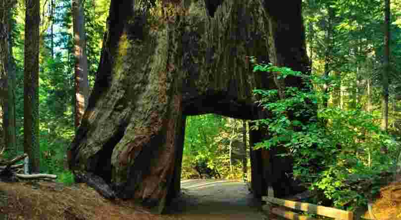 Where Is The Tallest Tree In The World? You won't Believe Where It Is Located