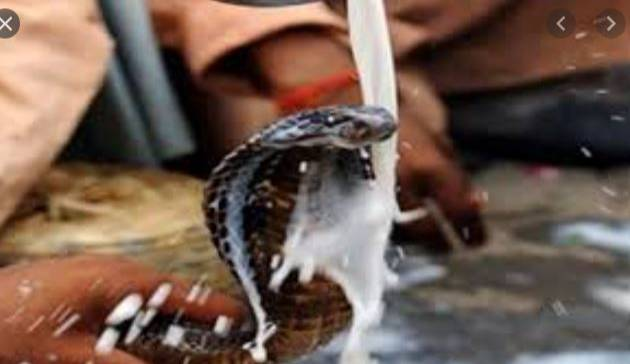 OMG! See The Strange Culture Where Milk Is Wasted On Snakes As A Form Of Worship