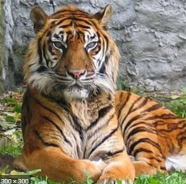 What Do You Know About The Worshipping Of Tigers??? You Will Be Amazed If You read This!