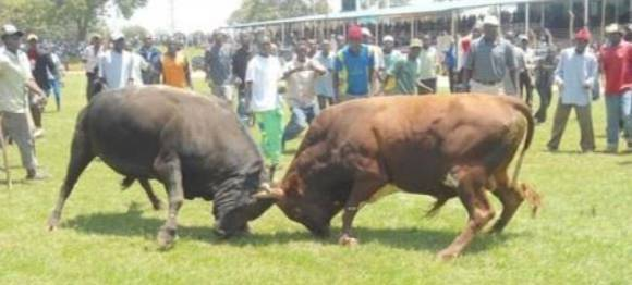 SERIOUSLY??? You Won't Believe That In This Custom, Bulls Are Used To Fill Up A Man's Grave