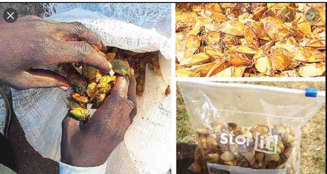 HOW ON EARTH DO PEOPLE EAT THIS??? See The Stink Bugs Eaten By Some Parts Of Africa
