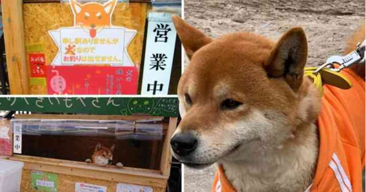 OMG!!! Meet 3-Year-Old Adorable Dog Who Runs His Own Sweet Potato Shop In Japan