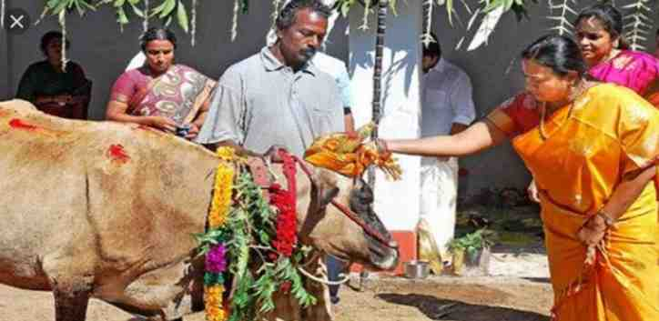 FUNNY AND CRAZY!! Cows Trample On These People For Goodluck – See For Yourself