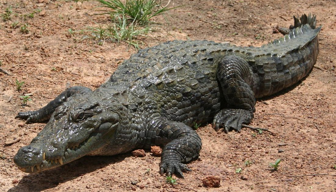 STRANGE! See The Village Where People Live With Crocodiles